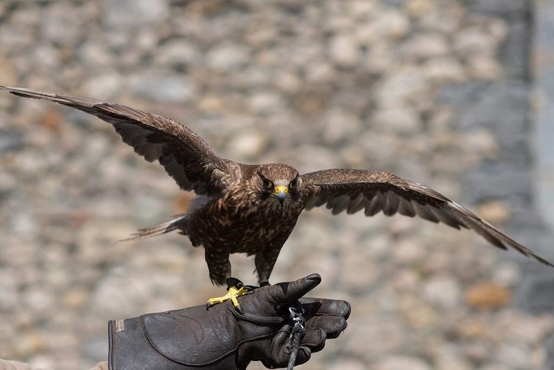glenlo abbey falconry